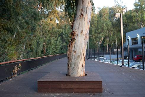 להקיף את העץ. הדק המרחף (צילום: דור נבו)