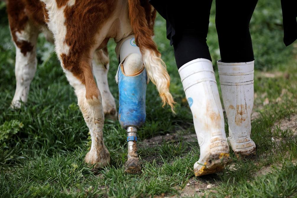 """A volunteer walks with Nir, a cow with prosthetic leg at """"Freedom Farm"""" which serves as a refuge f"""