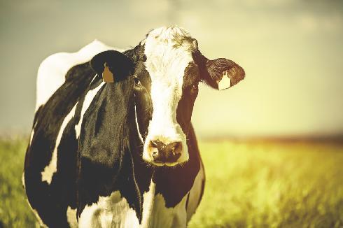 אילוס אילוסטרציה פרה פרות