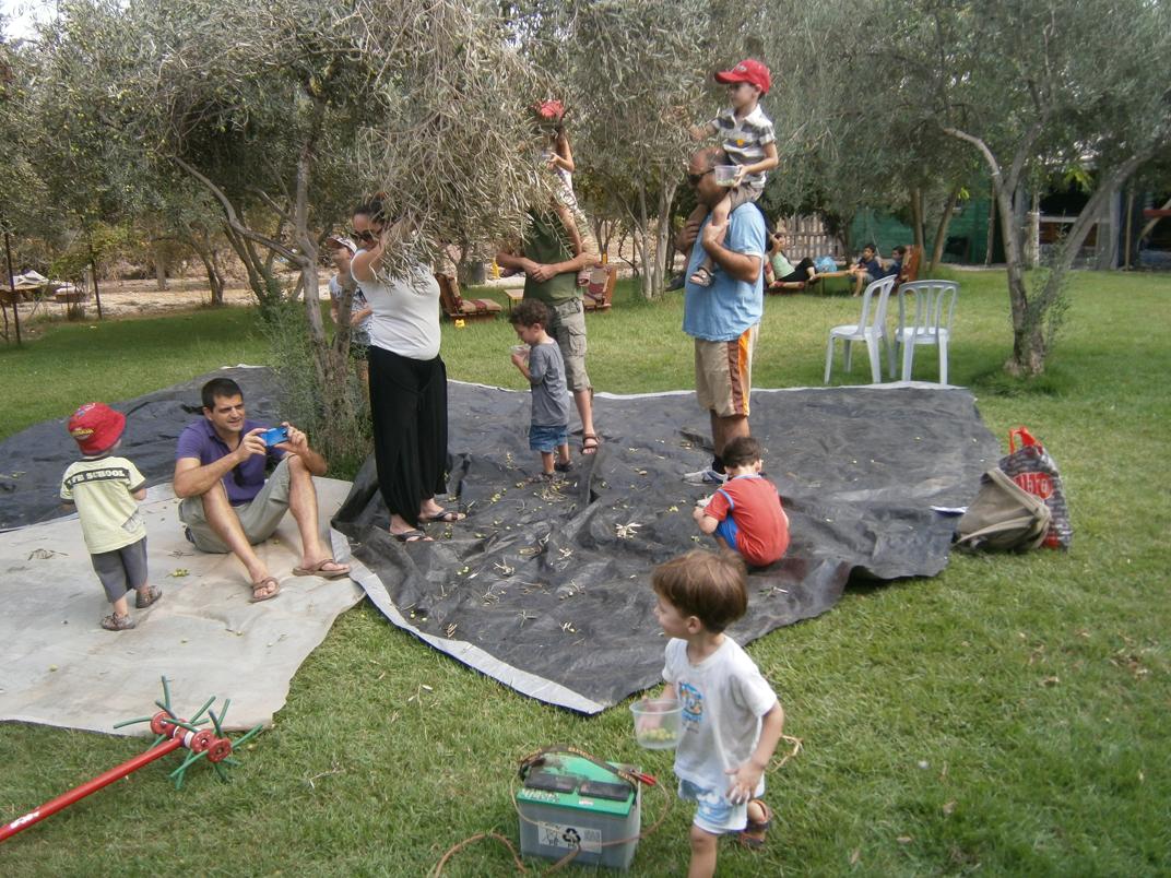מסיק בחוות הזיתים אלאדין