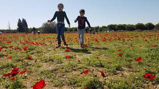 Children running through the anemone fields in southern Israel