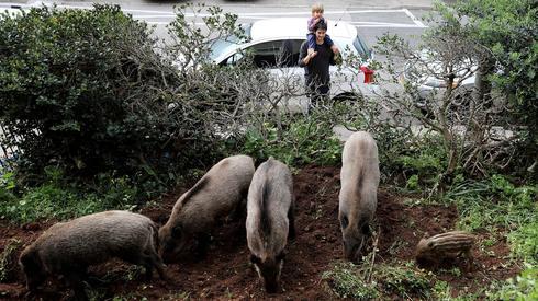 A group of boars digging up a backyard in Haifa