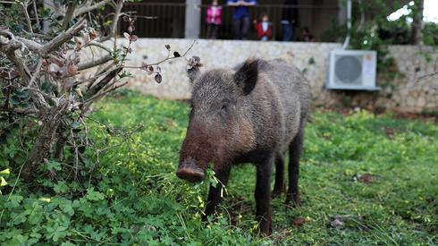 A young female boar