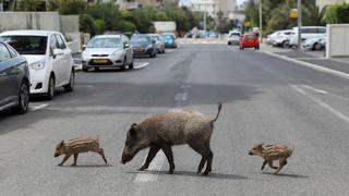 A female boar and two piglets