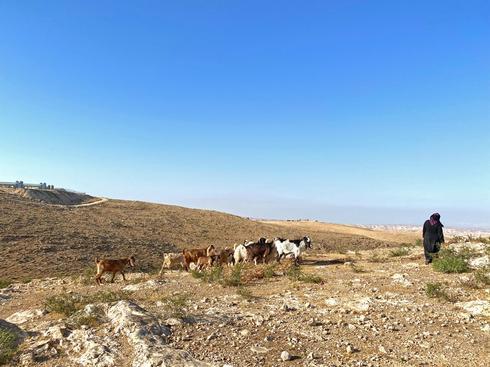 רועת צאן בדואית בחבל יתיר