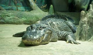 Saturn the alligator