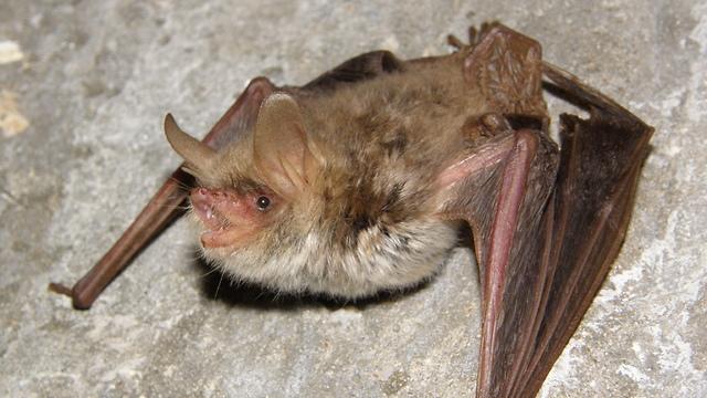 Thin-eared bat
