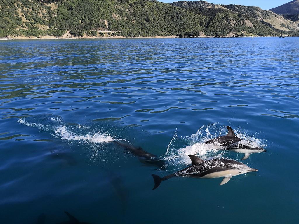 דולפינים ב-Kaikoura