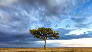 נוף סוואנה טיפוסי: ערבות אינסופיות ועצי שיטה בודדים פרושים לאורכן
