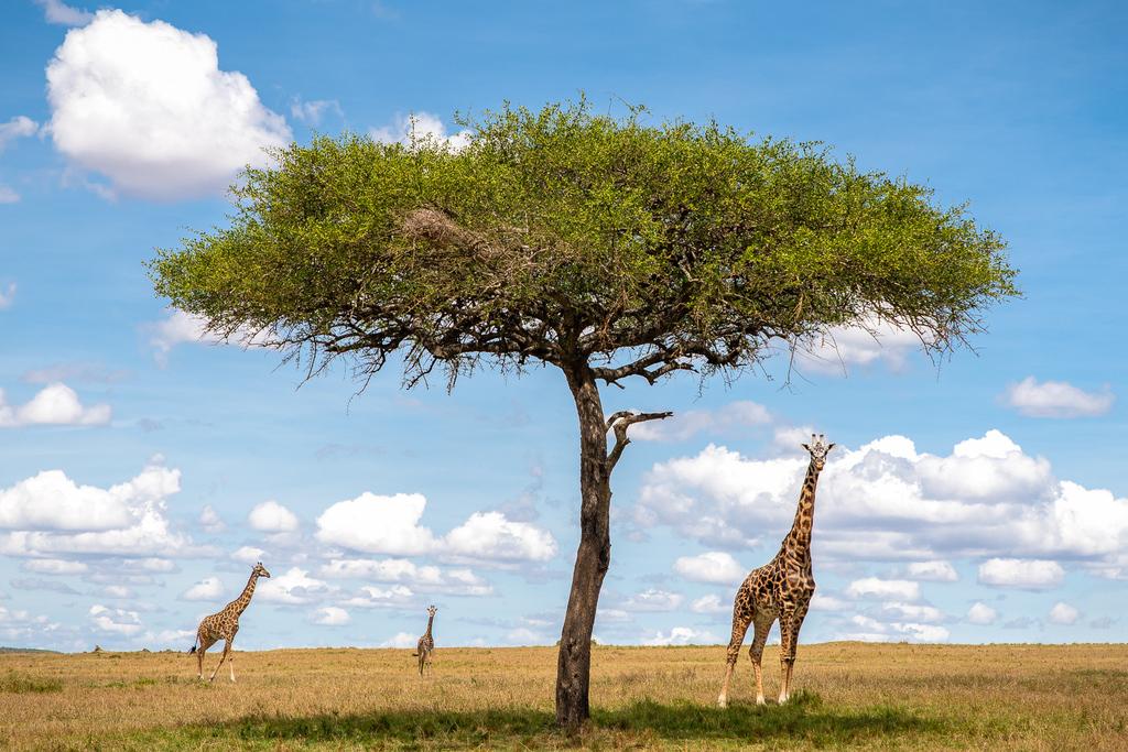הקסם של שמורת מסאי מארה שבקניה