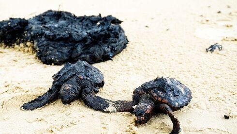 שילמו בחייהם. צבים שנפגעו מהזפת בחוף דור