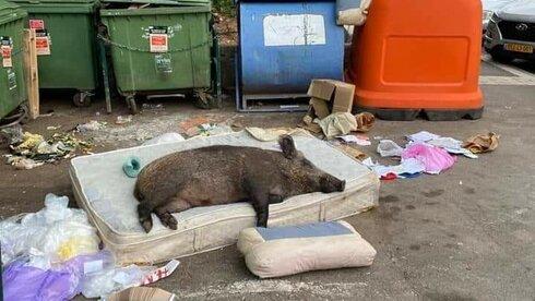 A wild boar naps on an abandoned mattress in Haifa