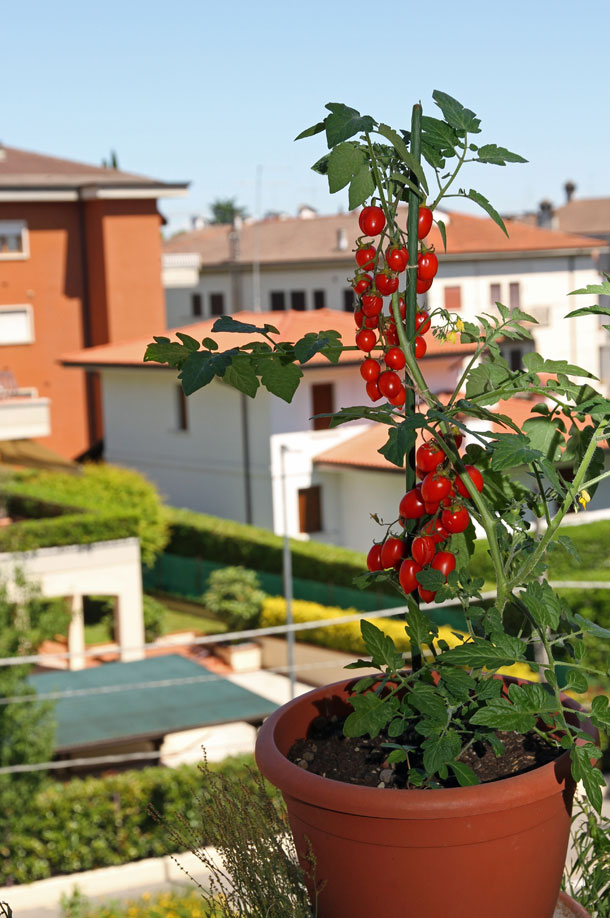 רוצים עגבניות שרי אורגניות?זה יורת קל ממה שחשבתם (צילום: שאטרסטוק)