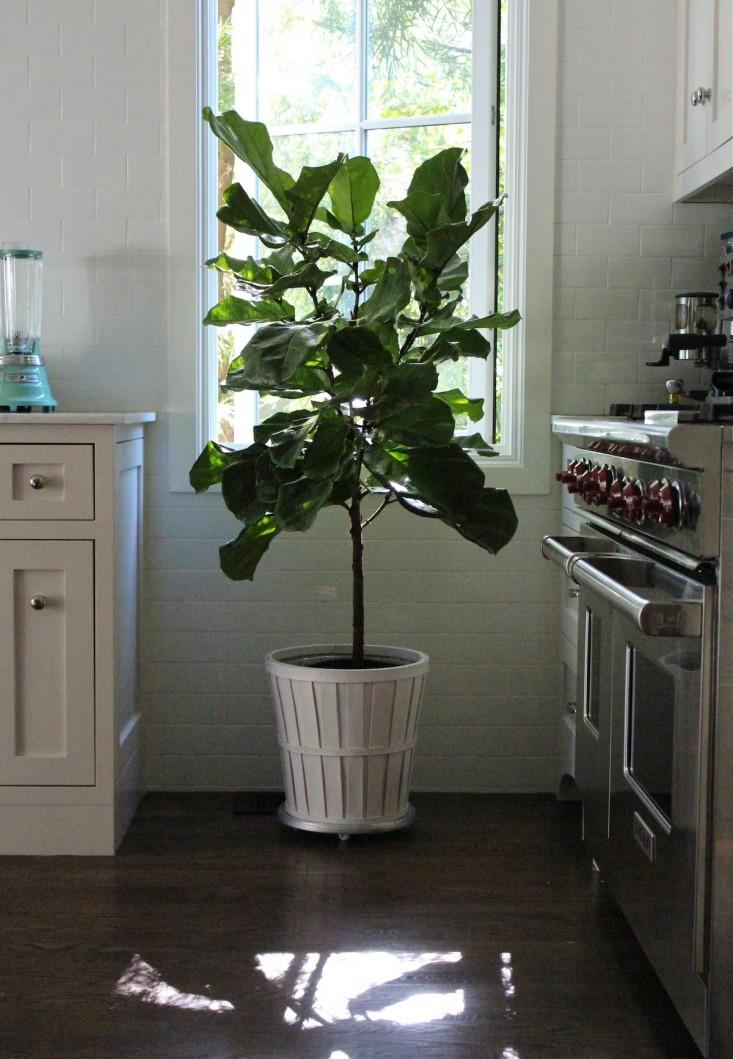 fiddle leaf fig kitchen 1