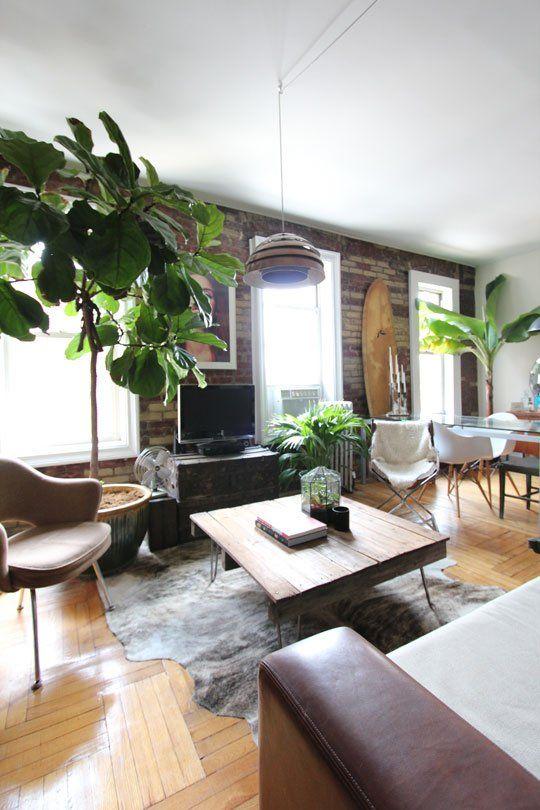 פיקוס כינורי ענק בדירה במנהטן. צילום:  Liana Hayles Walker