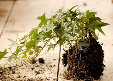 צמח קיסוס מטפס (צילום: שושן דגן )