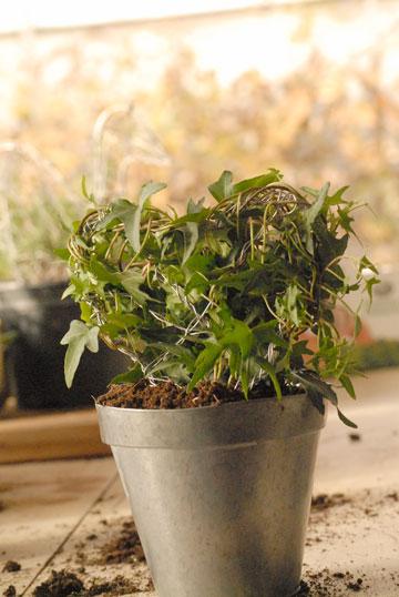 מלפפים את הצמח מסביבי  לצורה (צילום: שושן דגן )