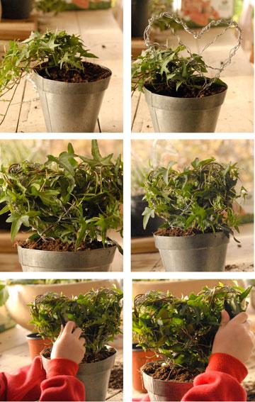 גוזמים את הצמח מסביב לצורה (צילום: שושן דגן )