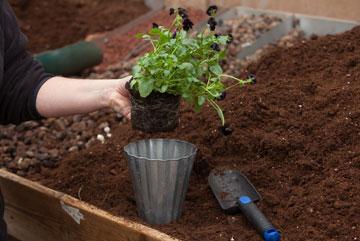 מוציאים את הצמח בזהירות מכלי הפלסטיק (צילום: טל ניסים)