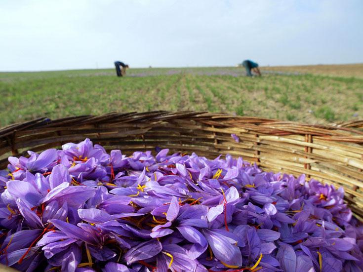 """200 אלף פרחים לייצור ק""""ג אחד של תבלין. פרחי כרכום, שמהם מופק הזעפרן, לאחר קטיפתם (צילום: shutterstock)"""