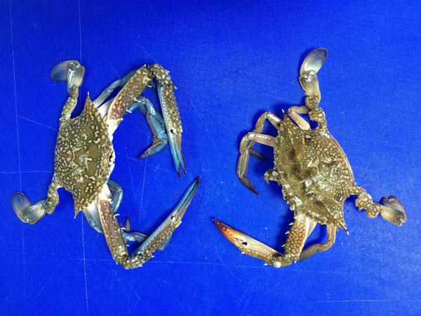 לזכרים יש יותר בשר, הנקבות מתוקות יותר. סרטן כחול (משמאל) וסרטנית (צילום: מרב סריג)