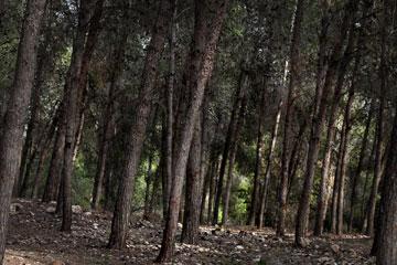 מנוחה בין עצי האורנים. יעל אשתאול (צילום: עמית שאבי)