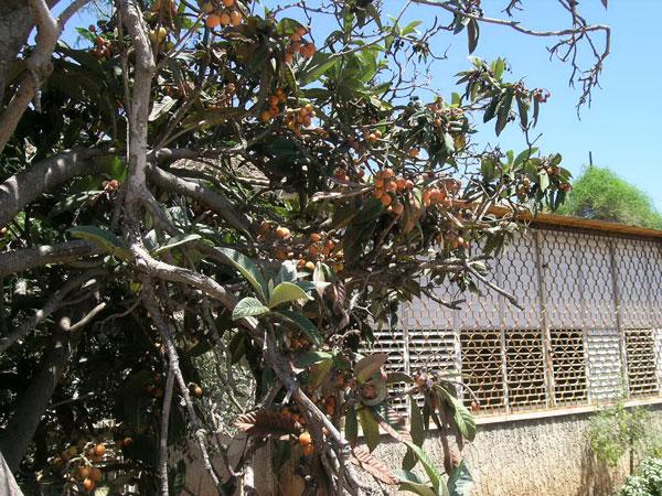 כל מי שעובר ברחוב מוזמן לקטוף. העץ בבית הוריה של אסנת לסטר (צילום: אסנת לסטר)