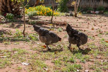 תרנגולות חופש בגינה (צילום: רוסלן אוטבייב)