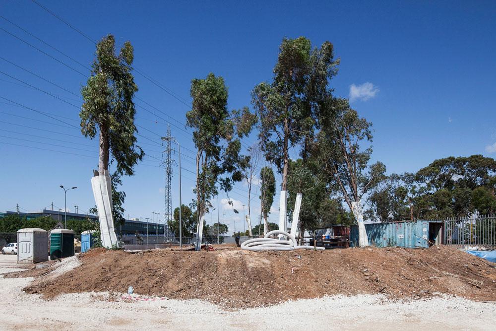 חורשת האקליפטוסים הוותיקה, שנשארה כאן מאז ימי המנדט הבריטי, נעקרה בחלקה לטובת מגרש חניה. האדריכלים מבטיחים לנטוע עצים חדשים (צילום: אביעד בר נס)