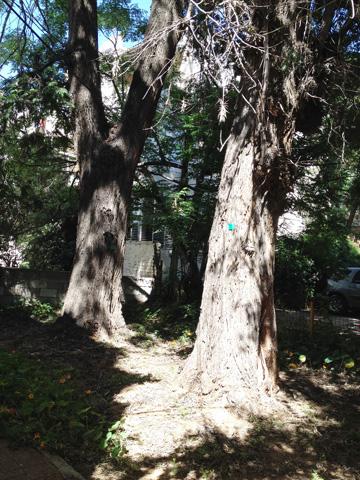 מיועדת לכריתה. הגרווילאה ברחוב גולדברג. האם לימון ננסי באמת יכול להחליף אותה? (צילום: אלון בן טוב)