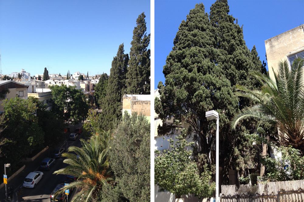 שלווה ירוקה ברחוב גולדברג. בשנה שעברה נכרתו 892 עצים בתל אביב, ועוד 763 הועתקו. הסיבה הפופולרית: ''העץ מפריע לתוכנית בנייה'' (צילום: אלון בן טוב)
