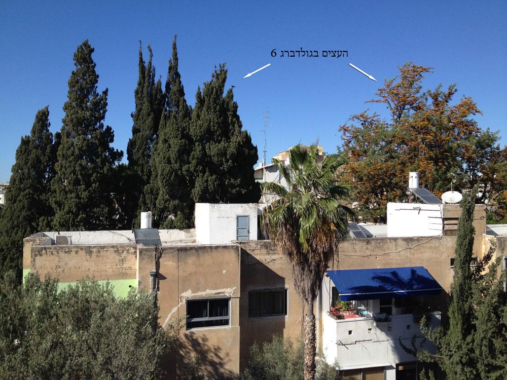 העצים הללו ברחוב גולדברג עומדים להיכרת. הסיבה: חניון של בית חדש שייבנה על חורבותיו של בניין שייהרס. אותו דבר קרה ברחוב טיומקין הסמוך (צילום: אלון בן טוב)