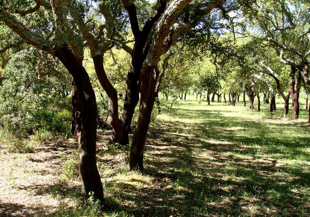 חורשות אלוני השעם מספקות כ-50 אחוז מצריכת השעם בעולם. כל עץ מקולף פעם בתשע שנים (צילום: נעם רוזנברג)