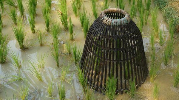 כשהשדה מוצף, אפשר לגדל במקביל דברים נוספים. מלכודת דגים בשדה אורז (צילום: shutterstock)