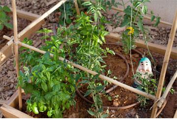 קישואים ועגבניות בגינה (צילום: ענבל מרמרי)