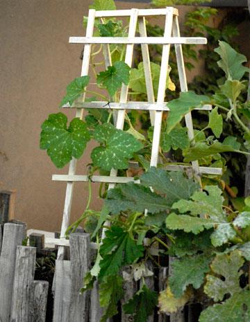 הדלייה של צמחי ירקות בערוגה (צילום: שושן דגן)