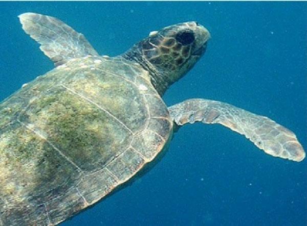 צבי ים בחוף אכזיב (צילום: גיל נחושתן, פוצקר, באדיבות אוצרות הגליל)