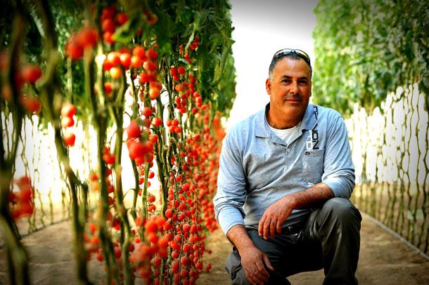 יהודה אסולין, מגדל עגבניות ממושב מבטחים. באשכול מגדלים 60% מהעגבניות בישראל (צילום: אבי פז)
