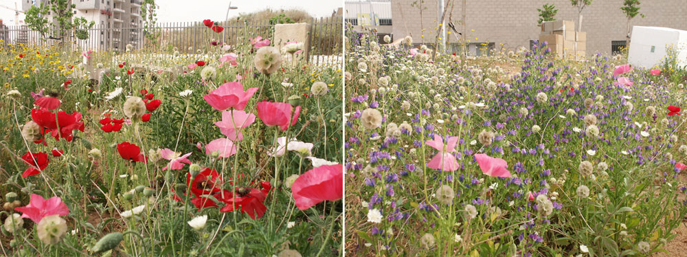 שטיפת צבע של פרחים ססגוניים בבית הספר בכפר סבא. המיזם ''זריעה בהתזה'' צובע את החצר בימי החורף ומסביר לתלמידים על חשיבות הצמחייה במניעת סחף (צילום: יואב הדר)