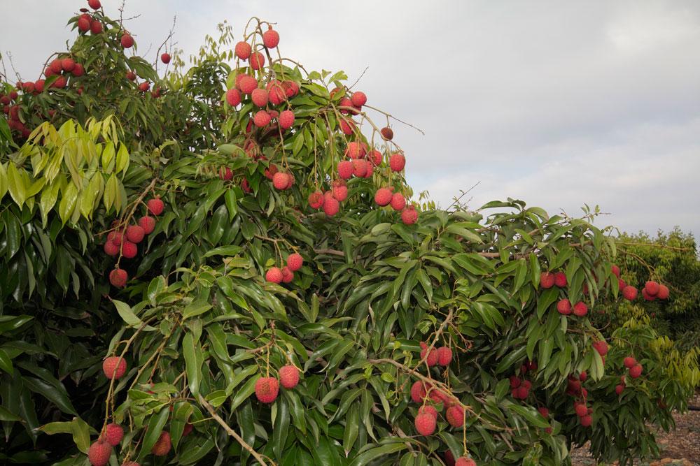העצים כורעים מפירות ליצ'י מתוק מדבש (צילום: אבנר גדיש, באדיבות אוצרות הגליל)