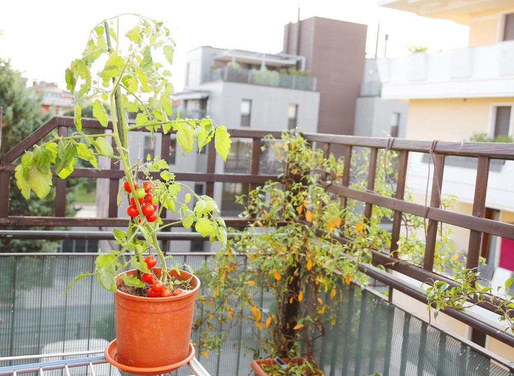 עגבניות, מלפפונים, בצל ירוק וגזר אפשרי לגדל גם בעציצים קטנים יחסית (צילום: shutterstock)