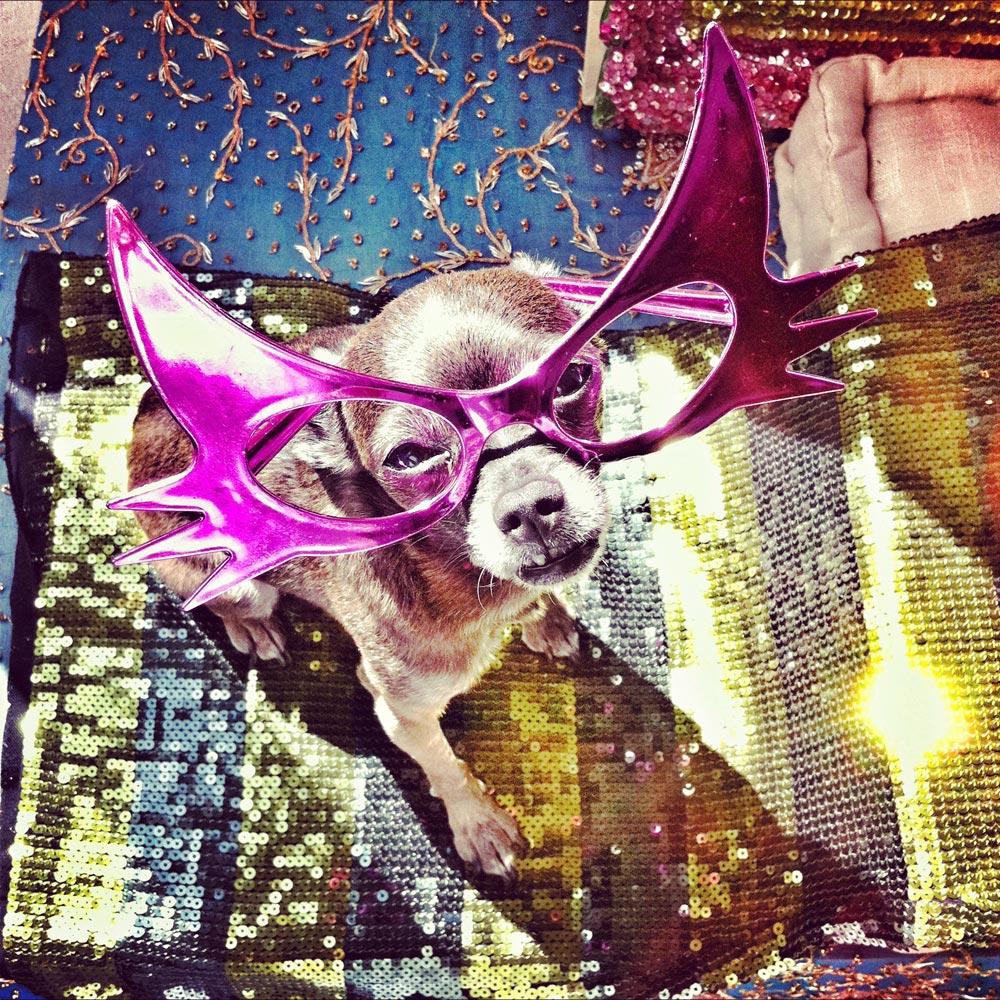 הכלבה קיקה מדגמנת משקפיים. נדמה כי האופנה עברה בימים אלו ללכת על ארבע (צילום: מרק אורן)