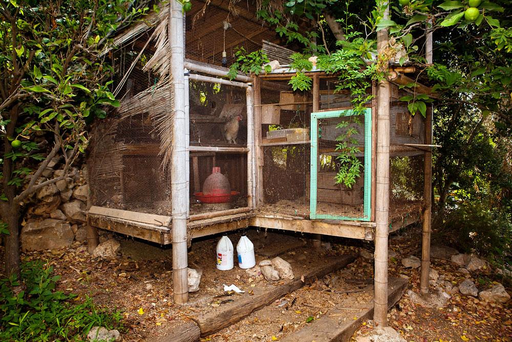 ויש גם לול תרנגולות. חצר ביתו של קדמי בעין הוד (צילום: ענבל מרמרי)