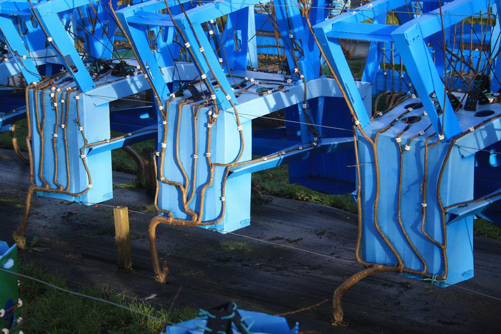 מבט מקרוב. העץ גדל סביב תבנית של כיסא הפוך. כשהוא מקיף אותה - תהליך שאורך כמה שנים - חותך המעצב את הענפים, מייבש ומשייף אותם. לעץ הנטוע באדמה הוא מניח להמשיך לגדול בצורה אורגנית (באדיבות Gavin Munro)