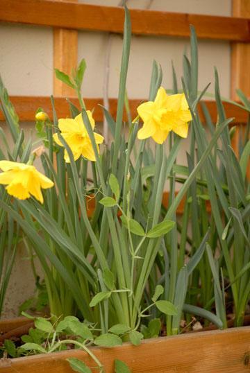 נרקיס חצוצרה צהוב (צילום: שושן דגן)