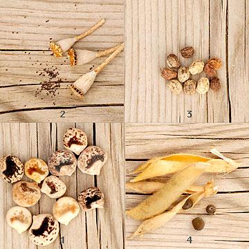 זרעי פרחים (צילום: שושן דגן)