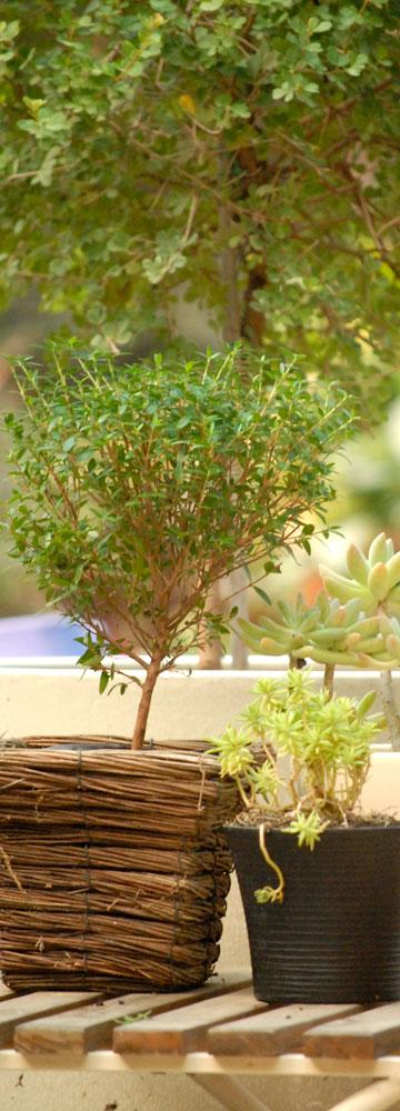 מבחר עציצים סוקולנטים (צילום: שושן דגן)
