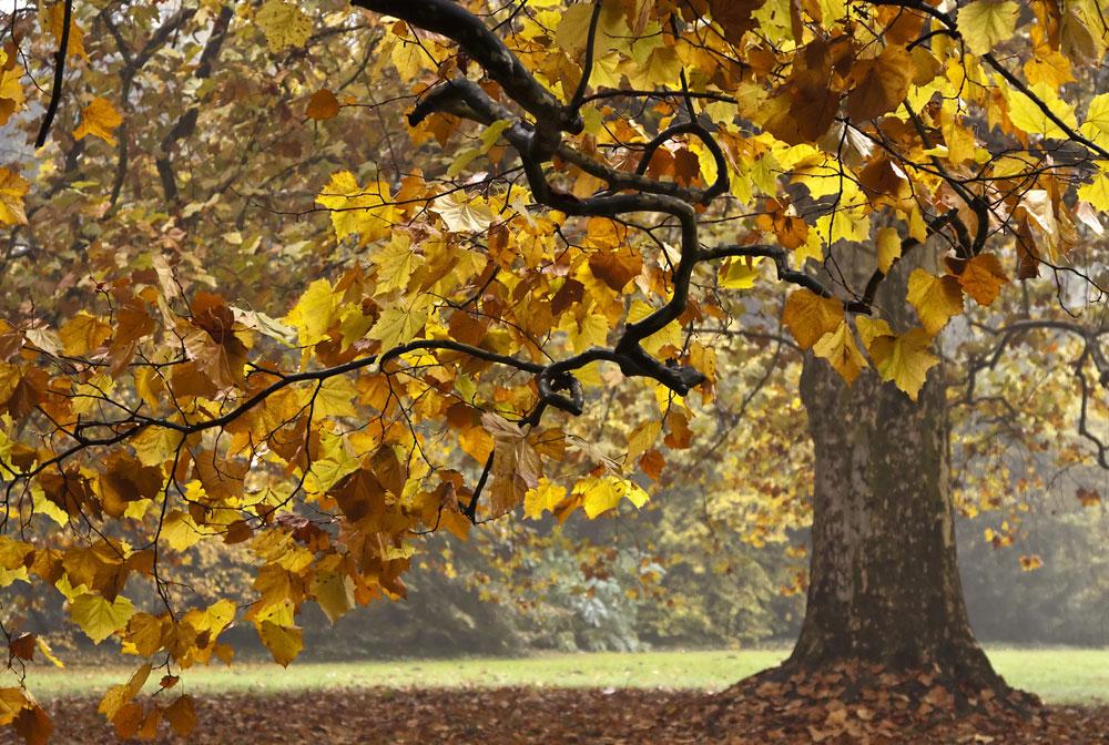 עץ דולב. צבעי השלכת שונים מצמח לצמח ואינם ידועים מראש (צילום: shutterstock)