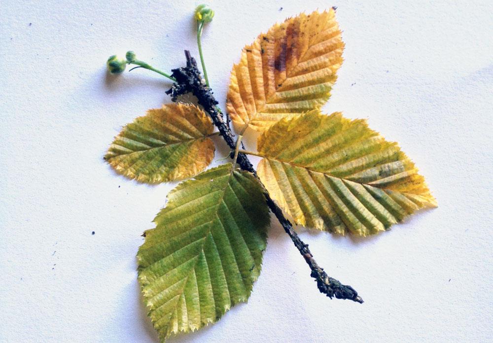 """פרפר בעל מחושים מניצני פרחים. בחרו עלי שלכת """"טריים"""", שרק נשרו מהעץ, כיוון שצבעם עז יותר (צילום: שושן דגן)"""