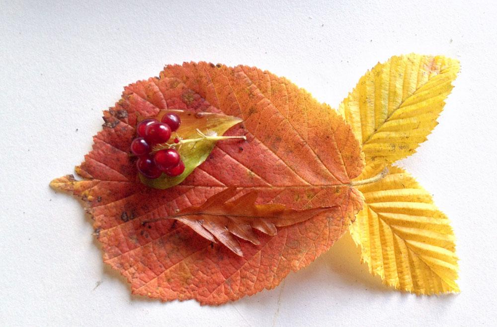 דג מעלי שלכת. חפשו עלים בעלי צורות מיוחדות או צבעים חזקים בגוני צהוב, אדום וכתום (צילום: שושן דגן)